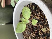 雑草?こぼれ種? 夏秋のプランターをほったらかしてたら、写真の芽が出ました。大葉とイチゴの辺りに生えててどちらにも似てるような…育てるか抜くか迷ってます。 なんの葉か分かる方教えて 下さい。