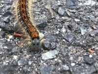 毒毛虫? こちらは広島県北部です。数日前より、大量の毛虫が家の外壁を動き回っています。 毒の有無、毛虫の種類(名前)を教えていただきたいので、よろしくお願いします。