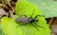 体長2cmほどの、この黒い昆虫の名前を教えてください。