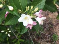 この花はなんの花ですか? 葉っぱはアジサイに似ています