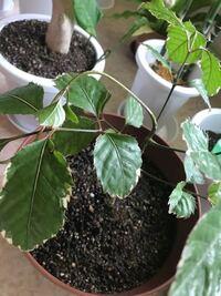 植物、観葉植物に詳しい方お願いします。 先程もらったので名前教えてください。 画像載せます。
