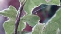 ヘデラに小さくて白い虫がついてしまいました。 クモの巣みたいなみたいなものもあるんですが、この小さな白い虫はなんですか? 駆除のしかたも教えてください。
