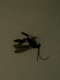 シロアリやクロアリなど虫に詳しい方お願いします! 朝方画像のような羽アリ(ハエくらいの大きさ?1センチないくらい)っぽいのが庭で飛んでます。 シロアリとは羽の枚数も違うし、クロアリとは触覚の形も違うし...