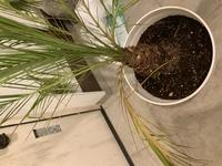 フェニックスロベレニーについて 先月、フェニックスロベレニーを購入しました。 大きい鉢が余っていたので、植替えをし、暖かくなってきたので屋外で育てていました。 最近気づいたのですが、葉が茶色になって...