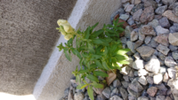 この植物は何とゆう名前でしょうか?? 庭の雑草を抜いてたら 何種類か雑草ぽくないのがあって 気になるので、4つ程質問さして頂きます!