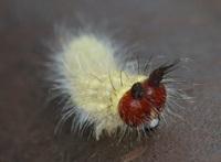 このかわいいイモムシは何の幼虫でしょうか。 おそらくチョウではなくガかと思いますが、 ガでネコ顔の幼虫は初めて見ました。 それともやはりチョウなのでしょうか。 詳しい方、よろしくお願いいたします。