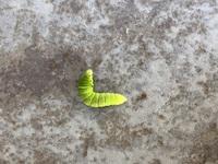 「青虫 種類」について質問です。  この青虫の種類を至急教えてください。