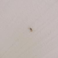 この虫なんですか…? ハエより一回り大きくて、2センチぐらいあります。  昨日までいなかったのに今日玄関付近に25匹くらい湧いてました…。扉なかなか開けられなかったです。  玄関用虫コナーズを先週から置いてるんですが、虫コナーズに止まってるやつもいるしめちゃくちゃ平気。コイツらには効かないみたいです…。  撃退方法何かありませんか