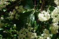 この白い小さな花をたくさんつけている樹木の名前を教えてください 花はもう散り時期でした