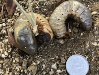 これはなんのカブトムシ幼虫ですかそれともカナブンや蛾の幼虫ですか?サイズはかなり大きいです。