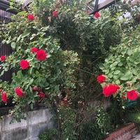 薔薇が花壇に天井迄高くなりたれても咲きほこり、どうやってまとめて良いか解りません。凄いのは赤薔薇が大きくその隣の木の薔薇は、紫、白薔薇で赤程大きな花ではありません、必死で引っ張って 痛めない様一応仮...