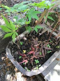 我が家の庭に自然と生えて来たモミジ?カエデ?どちらでしょうか?また我が家の庭には幹が15センチほどで樹齢が40年ほどの赤い葉のモミジが有りますが…今の知識では、カエデが霜にあたり紅葉すると聞いていますが...
