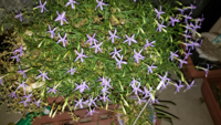 我が家のベランダのプランターに自生した植物なんですが紫色の花を咲かせました。 これ何かわかりますか?