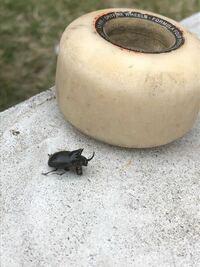 このツノの生えた虫はなんという虫なのでしょうか?大きさは1㎝〜2㎝ほどです。