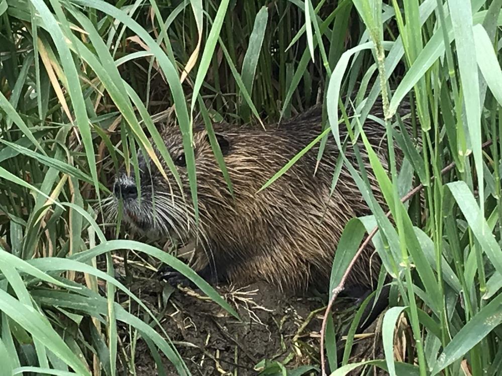 鴨川でヌートリアの巣を発見したのですが、この巣のヌートリアがやたらと警戒心が無くてびっくりした...