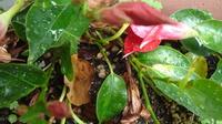マンデビラ(サンパラソル)を増やす方法 数年前からサンパラソルを植木鉢で育てています。 今年沢山花が咲いて蔓もいくつか枝別れして伸びたので、そのうち1本を別の植木鉢に導いて土を被せ蔓が浮かない様に石を置きました。ネット情報では増やすには「2節ほどの長さで伐って挿し木する」と書いてあるのですが、私のやり方で良いでしょうか?このやり方だとどれくらいの期間で元の花から切り離して良いでしょうか?埋...