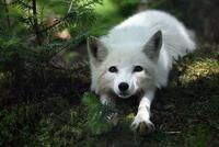 ホロライブの白上フブキがどうしても好きになれません 自分は狐が大好きで、その中でも特に、白狐が大好きです。 にじさんじから、Vtuberにはまりホロライブをちょっと見てみようかと思ったら、明らかに白狐を擬...