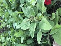 花壇に雑草が大量に生えてきましたが、これは何という雑草でしょうか…?