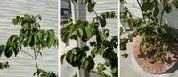 ヤマボウシの病気? について お世話になっております。 家のシンボルツリーとして植えたヤマボウシの葉っぱが変色しだしています 素人にはまったく分からないので、詳しい方に教えていただければありがたいです 下側からだんだん変色してきてい感じで上はギリギリ変色はしていないです 植えている場所は東側で深さは60~80cmくらいです 写真は左から上側中側下側です どうやって育てるか、教え...