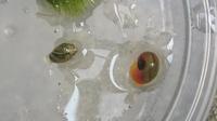 メダカ水槽の水草に付いていた貝なんですけど何て言う名前の貝ですか?  あとメダカ、金魚、らんちゅうと一緒でも問題はないですか?