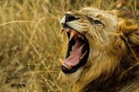 ライオンやトラなどの野生肉食獣は、牙が折れたり抜けたりしたら獲物がとれなくて死ぬしかないのでしょうか? 牙は肉食をする上で生命線だと聞きます。  インドで数百人を殺したメスのトラは右側の上下の牙が折れていて、野生動物を捕まえることができなかったので弱い人間を補食していたらしいです。  ちなみにライオンは群れで暮らしているらしいですが、群れが老齢な個体を介護するなんてことはありませんよね?