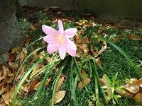 花の名前を教えてください。 兵庫県南あわじ市の自宅庭先にありました。 茎は30㎝くらいで、花は10㎝弱です。 撮影日 2019/6/22  宜しくお願いします。