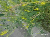 お世話になります。  札幌市の「サッポロさとらんど」付近で、黄色い花を咲かせている野草を よく見かけます。  写真を添付しましたので、名前を教えてください。  よろしくお願いいたします。