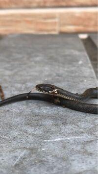 蛇なんてめったにみない地元の庭のくさの中に小さな蛇がいました。 こちらは毒なしですか?手で触るなどは危険でしょうか? あと、これからでかくなる可能性ありますでしょうか?  この種類は飼育に向いてる蛇でしょうか?