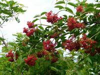 公園で赤い実の木を見ましたが、名前が判りません知っている方教えて下さい。