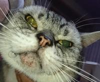 猫のヨダレについてです。 僕は今、知り合いから譲っていただいた猫ちゃんを飼っています。 13歳のアメショーで、お婆ちゃん猫です。  譲っていただいてから約一年…。 以前から、たまに吐く癖はあったのです...