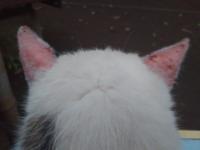 野良猫 耳と、はなが、ダニ?にやられてます!ただれてます!病名、治療費用、等、わかる人いますか?