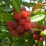 最近、公園でみかけるライチのような小さい赤い実の街路樹の名前を知ってる方がいましたら、教えてください。