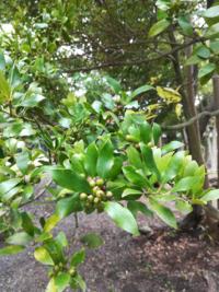 この木の実はなんですか?7月の画像です。木の実は、緑から赤(オレンジ)から黒色に変化します。 名前を教えて下さい。