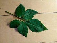 こちらの葉っぱ  これはヤブガラシでしょうか? 以前確実にヤブガラシというのがわかっていたものに見た目はそっくりなのですが、葉の厚みがないというか、柔らかい気がいたします。  リク ガメに有害な葉っ...