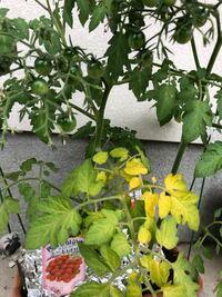 ミニトマトですが 青い実がたくさんなってますが ●葉っぱが 黄色です●  状態 確認 よろしくお願いします。