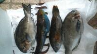 魚を釣ったのですが、なんの魚だかわかりません。 1日経っています。 初めてだったので、もしかしたらもう捨てる選択肢になってきているのですが  明日は時間があるので、何とかしようと思 います。  なんの魚だか分かりますか? また簡単な調理方法ありますか?