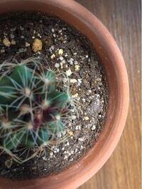 サボテンの植木鉢と土に白カビのようなものが生えてしまいました。 一昨日、たっぷりと水をあげたところ、植木鉢の外側に白い点のようなものが現れていました。これはティッシュで拭いたところ、簡単に落ちました...