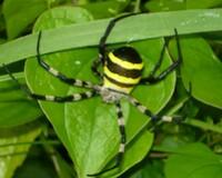 これをご存じですか? 連休前、夫の仕事を手伝いに行ったとき、茂みの蜘蛛の巣にこんなのがいました。 私にしてみれば、こんなに派手で大きい蜘蛛は初めて見ました。 なんという名の蜘蛛なんでしょうか。 皆さ...