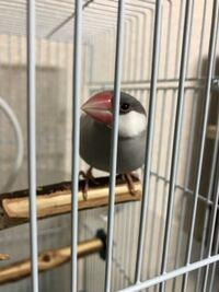 この文鳥さんはオスですかメスですか? たまに長く鳴いている時もあれば、ピッピッとメスらしい鳴き声もするので鳴き声もします