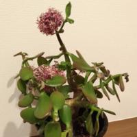 この植物は、なんという名前ですか? 貰い物ですが、水をやりをあまりしていなかったので、枯れているようです。新しく買おうと思います。