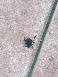 カメムシ?玄関先にいたこの虫の名前がわかりません。裏側までは見れていませんが、ぱっと見、カメムシ目のように思います。大きさは2センチ程度です。平べったかったです。よろしくお願いします。