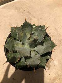 アガベについて質問です! 乾燥を好む植物の発根についてなんですが、土がカラカラに乾いていてもアガベなどの植物は発根するんでしょうか?それとも発根するまでずっと土を湿らせていなければならないんでしょうか? 写真のアガベ雷神なんですが、植え替えたとき2ミリくらい発根している根が3箇所くらいありました。 某ホームセンターから購入し土があってなさそうだったので植え替えたんですが、わからないことだらけ...