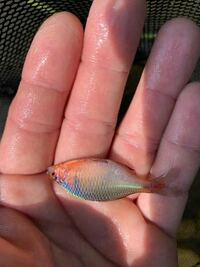 長崎県在住の者です。川で淡水魚を釣りやガサガサで捕獲するのを趣味にしています。先日隣の県の川でバラタナゴらしき個体を捕獲しました。ただ、ニッポンかタイリクかの判別は外見だけではほぼ不可能に近いとさ...