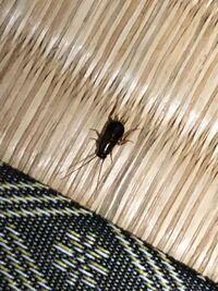 これはゴキブリの子供ですか?1cm未満です。 田舎なので家の中でゴキブリは滅多に見ませんが、こいつが同じ部屋に3匹いました。
