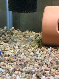 水槽についてです。水槽に白いモヤモヤみたいのがあるのですがいったい何でしょうか? 60センチ水槽に石巻貝10匹と金魚が2匹います。 水槽に臭い等はなく無臭です。 糸状のコケでしょうか?それとも水カビですかね?