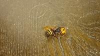 このハチは、スズメバチですか? 先程家の中に侵入して飛び回っていたので、ジェット式殺虫剤で仕留めました。  ちょっとだけ罪悪感を感じましたが、家族を守るためには仕方なかったです。 動けなくなったあと...