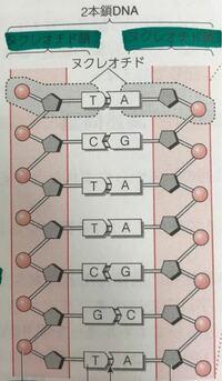ヌクレオチドとヌクレオチド鎖の違いがわかりません。この写真はヌクレオチドとヌクレオチド鎖どちらも同じとこを指してませんか? 簡単に説明お願いします…