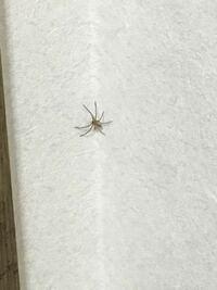 画像あり 蜘蛛 この蜘蛛はアシダカグモですか??