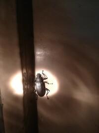 昨夜、見つけました。暗くてよくわからず、クワガタのメスかと思って懐中電灯で当てて撮ってみたら違うみたい?この昆虫は何でしょうか?気になって寝れませんでした(笑)