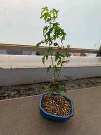 モミジの種を蒔いたら芽が出たので20センチ程の鉢に植えたら現在背丈が40センチ位に成長しております。 この先盆栽にしたいのですがどのように育てたらよいでしょう。